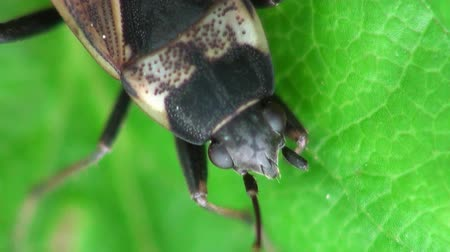 percevejo : nemorum beetle macro