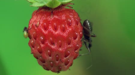 ягоды : strawberry Red berry with beetle macro Стоковые видеозаписи
