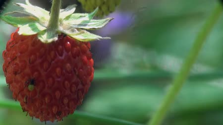 bugs : strawberry Red berry with beetle macro Stock Footage