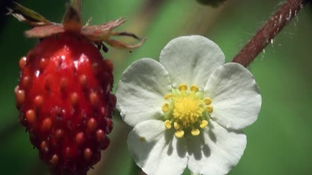 ягода : strawberry Red berry with beetle macro Стоковые видеозаписи