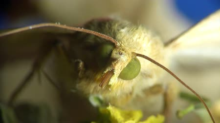 palaemon : Butterfly skippers Stock Footage
