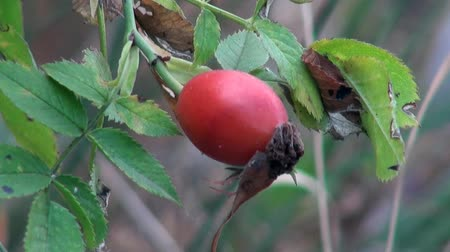 krzak : Rose hips are growing on a green bush in the mountains of the north of France Wideo