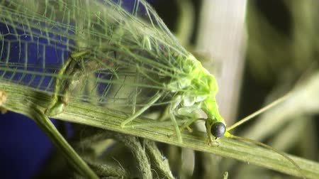 bugs : green bug housefly macro Stock Footage