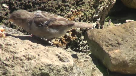 bird eye : sparrows feeding on the beach among the rocks