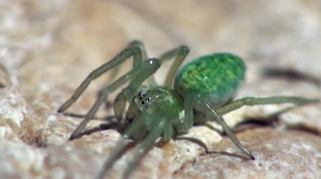 проливая : little green spider is sitting under the sheet and moves legs, macro