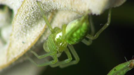 macro : little green spider is sitting under the sheet and moves legs, macro