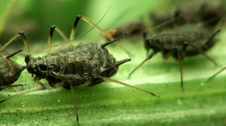 bugs :  Cherry aphid macro Stock Footage
