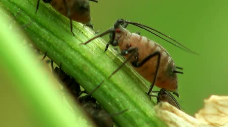 bugs :  Melon aphid Stock Footage