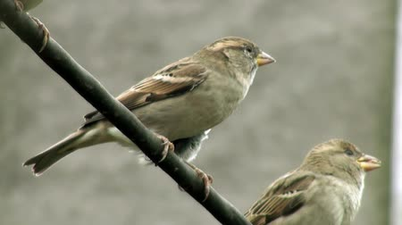 kable : Sparrows on thick wire Wideo