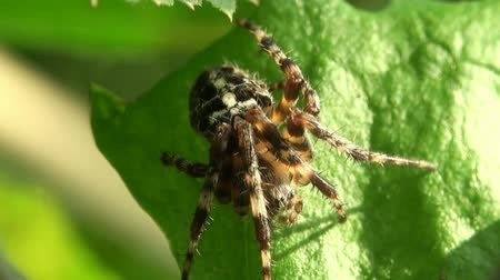 cross spider : Araneus spider on green leaf