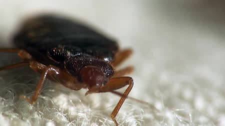 bugs : Bedbug bloodsucker sitting cushion Stock Footage