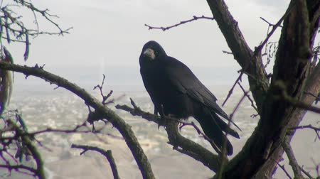 corvo : Black crow sitting on branch of dry wood