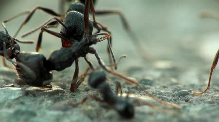 harc : Insects macro ants anthill bug fight Stock mozgókép