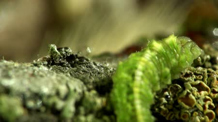 butterflies in the stomach : Insects macro green caterpillar Stock Footage