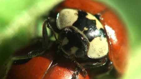 joaninha : Insects Macro red ladybug Stock Footage