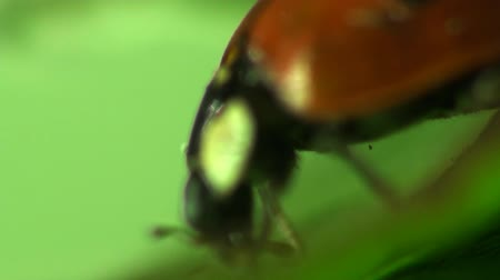 butterflies in the stomach : Insects Macro red ladybug Stock Footage