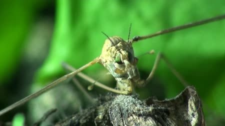 diptera : Large mosquito crane fly macro Stock Footage