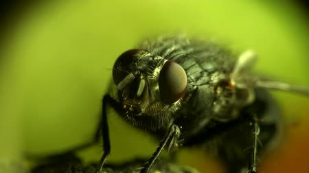 mucha : Head Housefly fly macro insect