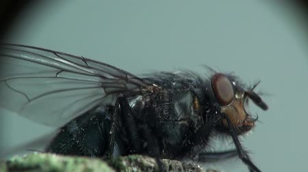 comer : Head Housefly fly macro insect