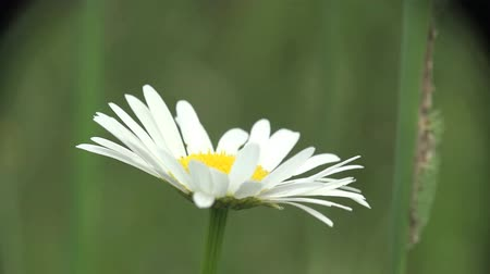 devedikeni : White flower camomile macro field Stok Video
