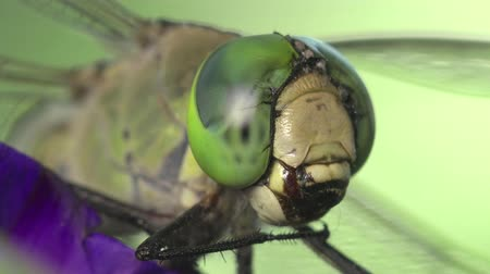 folha : Head green Darner dragonfly insect macro