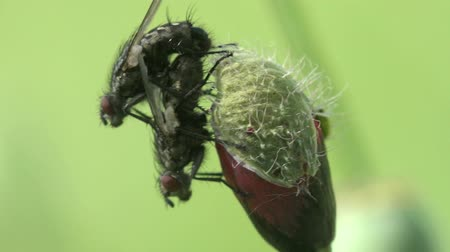 Two Housefly setting in glass  fly macro insect