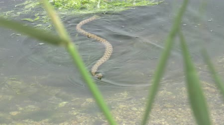 cobra : Snake River Natrix floats reptile in water on river among green algae