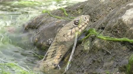 Head Snake River Natrix floats reptile in water on river among green algae