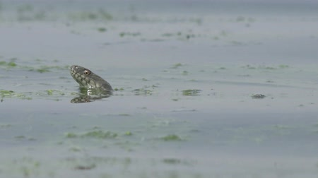 frango : Head Snake River Natrix floats reptile in water on river among green algae