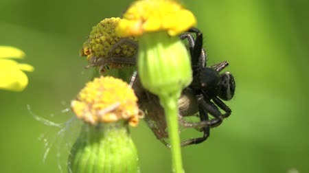 araneae : crab spider insect sitting in yellow flower macro Stock Footage