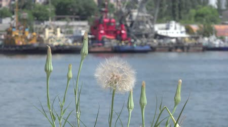 dry zone : Dry dandelion on background of stones shipbuilding cranes river