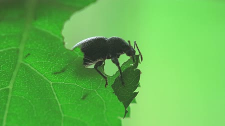 Black beetle crawls on green leaves in the forest, insect macro 4k Stock Footage