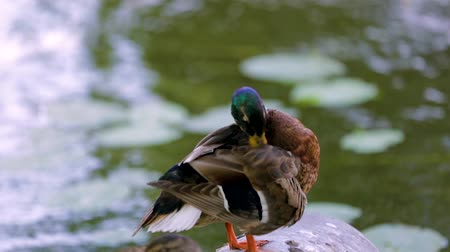 mallard : Close up view of a cute colorful duck near a river. Beautiful nature backgrounds. Stock Footage
