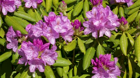 rhododendron : Close up view of rhododendron flower blooming on green grass background. Beautiful backgrounds.