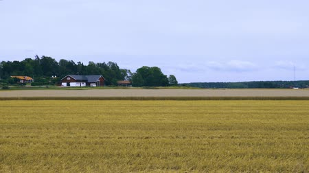 sklizené : View of beautiful nature landscape with rye field harvested half way on blue sky and white clouds background. Sweden Europe