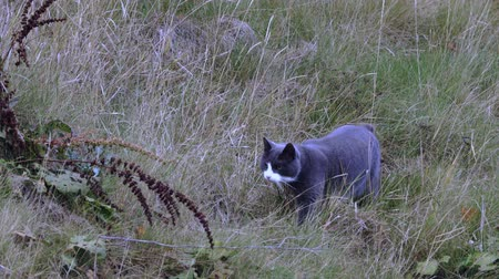 gato selvagem : Cute gray cat creeping in grass on natural landscape. Beautiful animal backgrounds. Vídeos