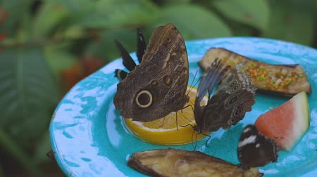 tropical insects : Closeup view of group of gorgeous butterflies eating fruits. Beautiful nature backgrounds.