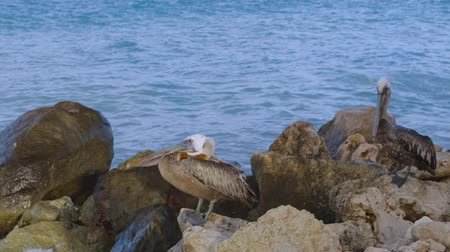 cigüeñas : Pelicans sitting on rock. Turquoise water and blue sky background. Caribbean. Aruba.Amazing nature background. Archivo de Video