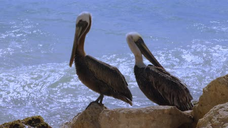 ペリカン : Pelicans sitting on rock. Turquoise water and blue sky background. Caribbean. Aruba.Amazing nature background. 動画素材