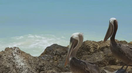 ooievaar : Pelicans sitting on rock. Turquoise water and blue sky background. Caribbean. Aruba.Amazing nature background. Stockvideo
