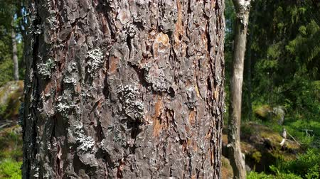 pień : Slow motion. Beautiful view of bark of an old pine tree. Beautiful nature backgrounds. Wideo