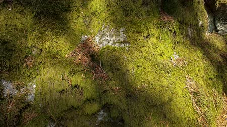mohás : Slow motion. Beautiful close up view of stone overgrown with green moss. Beautiful nature backgrounds.