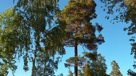 mohás : Slow motion. Beautiful view of moving tops of high trees on blue sky background. Beautiful nature backgrounds.