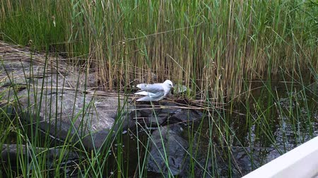 Slow motion. A gull on big rock surrounded with green lake grass. Wideo