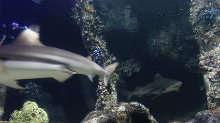 reef life : Shark of under sea