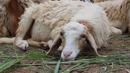 koyun : Sheep in the farm Stok Video