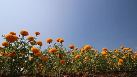tavasz : Marigold flower with blue sky , Panning video