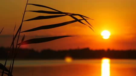 glare : The Reeds on Sunset Landscape With Sun and Water Background