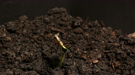 росток : Germinating Seed Growing in Ground Agriculture Spring Summer Timelapse