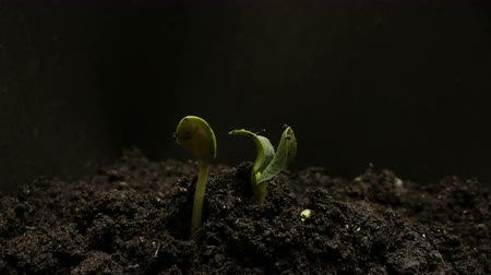 transplant : Germinating Seed Growing in Ground Agriculture Spring Summer Timelapse
